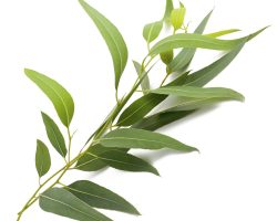 most-popular-eucalyptus-essential-oil